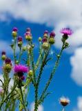 Gwożdżący osetów badyle z kwiecenie gałąź r niebieskie niebo zdjęcie stock