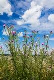 Gwożdżący osetów badyle z kwiecenie gałąź r niebieskie niebo fotografia stock