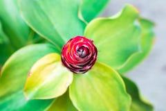 Gwożdżący Spirlaflag imbir, Costus spicatus pastelowy kolor zdjęcia royalty free