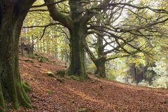 Large trees in a deciduous forest in Scotland stock photography