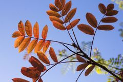 The leaves of a ash tree on a Autumn day stock images