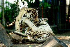 gyckel som har tigrar Royaltyfri Bild