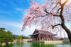 Gyeongbokgung Palace with cherry blossom in spring, Seoul in Korea.  stock images