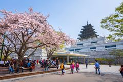 Gyeongbokgung Palace with Cherry Blossom in Spring Travel of korea, April 10, 2016 in Seoul, South Korea. royalty free stock image