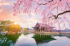 Gyeongbokgung palace with cherry blossom tree in spring time in Royalty Free Stock Photography