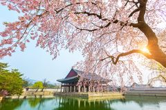 Gyeongbokgung palace with cherry blossom tree in spring time in Royalty Free Stock Photos
