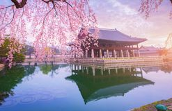 Gyeongbokgung palace with cherry blossom tree in spring time in seoul city of korea, south korea.  stock images