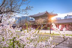 Gyeongbokgung palace with cherry blossomin spring in seoul, sout Stock Photos