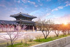 Gyeongbokgung palace with cherry blossomin spring in seoul, south korea. stock photo