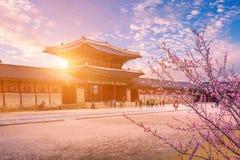 Gyeongbokgung palace in spring, South Korea. Gyeongbokgung palace in spring and cherry blossom tree in sunset , South Korea stock image