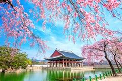 Gyeongbokgung slott med den körsbärsröda blomningen i våren, Korea arkivbilder