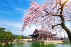Gyeongbokgung slott med den körsbärsröda blomningen i våren, Seoul i Korea arkivbilder