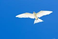 Gygis alba in blue sky. The Seychelles bird Royalty Free Stock Image