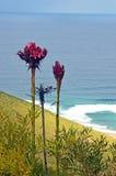 Gymea百合Doryanthes excelsa的高花钉 免版税库存图片
