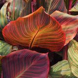 Gymea Lilly Leaves Royalty Free Stock Photography