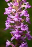 Gymnadenia conopsea. Fragrant orchid purple flowers - Gymnadenia conopsea Royalty Free Stock Photos