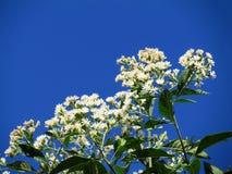 Gymnanthemum extensum,南chao韦或南fui chao中国名字叶子和花在树,作为药用植物 免版税库存照片