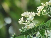 Gymnanthemum extensum,南chao韦或南fui chao中国名字叶子和花在树,作为药用植物 免版税库存图片