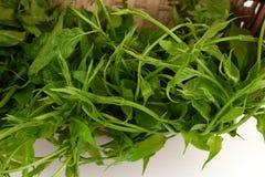 Gymnema inodorum (Lour.) Decne. Royalty Free Stock Image