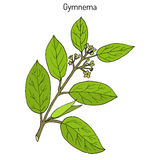 Gymnema sylvestre, of cowplant, gurmari, geneeskrachtige installatie Stock Afbeeldingen