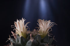 Gymnocalycium baldianium下巴仙人掌反对黑暗的花瓣 库存照片