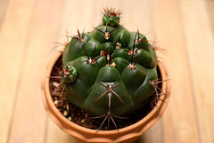 Gymnocalycium cactus in a baked clay pot Stock Photography