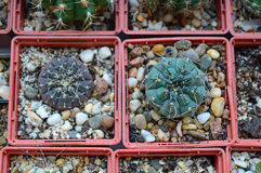Gymnocalycium dans la collection de cactus image stock