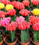 Gymnocalycium lub podbródka kwiatonośnych rośliien kaktusowy tło obraz stock