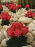 红色Gymnocalycium mihanovichii (奇恩角仙人掌) 免版税库存图片