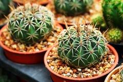 Gymnocalycium mihanovichii Das Hobby, das mit vielen des Sprösslingskaktus im Kindertagesstättengarten für Verkauf im Garten arbe Lizenzfreies Stockbild