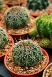 Gymnocalycium mihanovichii Das Hobby, das mit vielen des Sprösslingskaktus im Kindertagesstättengarten für Verkauf im Garten arbe Stockfotos
