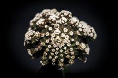 Gymnocalycium Mihanovichii f inermis Montrose 免版税库存照片