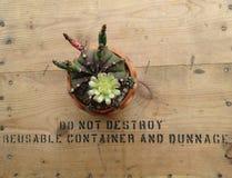 Gymnocalycium Mihanovichii-Kaktus gepflanzt in den kleinen Töpfen mit Blumen stockbilder
