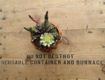 Gymnocalycium Mihanovichii kaktus zasadzający w małych garnkach z kwiatami obrazy stock