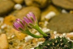 Gymnocalycium mihanovichii kwiaty kwitną menchie zdjęcia stock