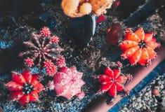 Gymnocalycium mihanovichii lub podbródka kaktus Zamyka w górę stubarwnego gymnocalycium kaktus w kwiatu garnkach Obrazy Royalty Free