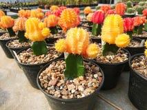 Gymnocalycium mihanovichii Rubinowy piłka/3 kolor zdjęcia royalty free