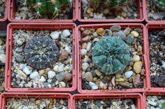 Gymnocalycium nella raccolta dei cactus Immagine Stock