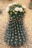 Gymnocalycium saglionis britton & wzrastał zdjęcie royalty free