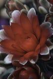 Gymnocalyciumbaldianum Stock Fotografie