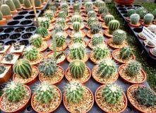 Gymnocalyciumkaktus som är till salu i trädgården royaltyfria foton