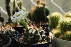 Gymnocalyciumsp ha den vita blomman Kaktus på den plast- krukan Tolerant växt för torka royaltyfria foton