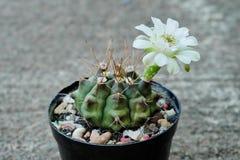 Gymnocalyciumsp ha den vita blomman Kaktus på den plast- krukan Tolerant växt för torka royaltyfri bild
