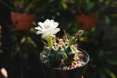 Gymnocalyciumsp ha den vita blomman och kärna ur fröskidan Kaktus på den plast- krukan Tolerant växt för torka royaltyfri bild