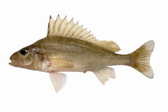 Gymnocephalus cernuus. Ruffe. Royalty Free Stock Photography