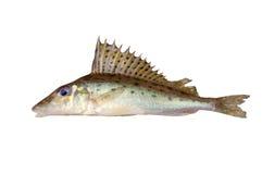 Gymnocephalusacerina Royalty-vrije Stock Afbeelding