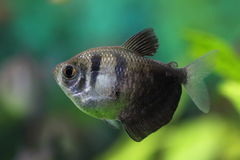 Gymnocorymbus ternetzi Primo piano di Aquarienfische Fotografia Stock