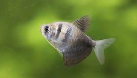 Free Gymnocorymbus Ternetzi. Tropische Fische Schwimmen Im Aquarium Royalty Free Stock Photos - 176533198