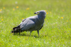 Gymnogene bird of prey on sunlit grass. African harrier-hawk Po Royalty Free Stock Images
