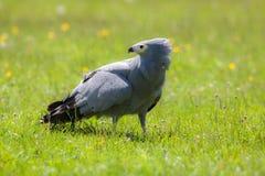 Gymnogene ptak zdobycz na nasłonecznionej trawie Afrykański jastrząb Po Obrazy Royalty Free